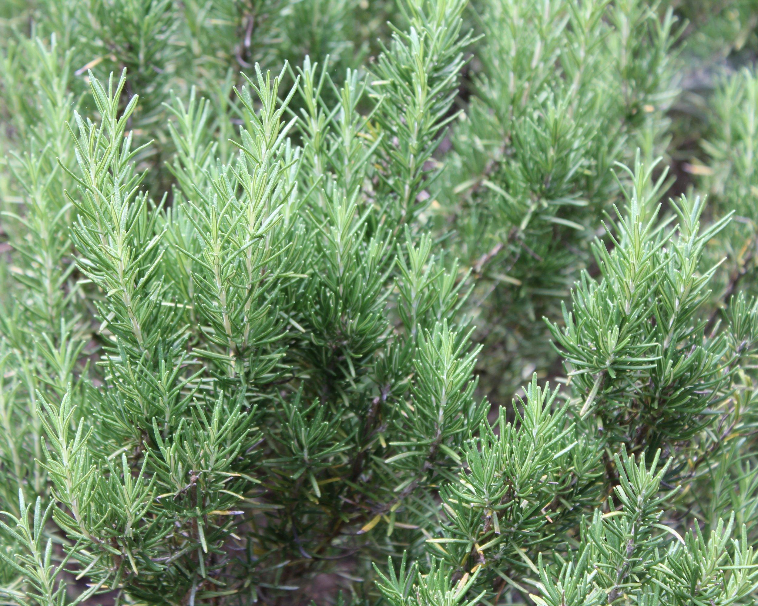 Rosemary,  Rosmarinus officinalis , growing strong!