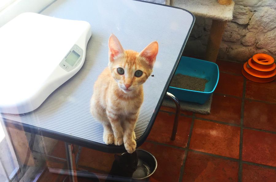 Ginger kitten in infirmary.
