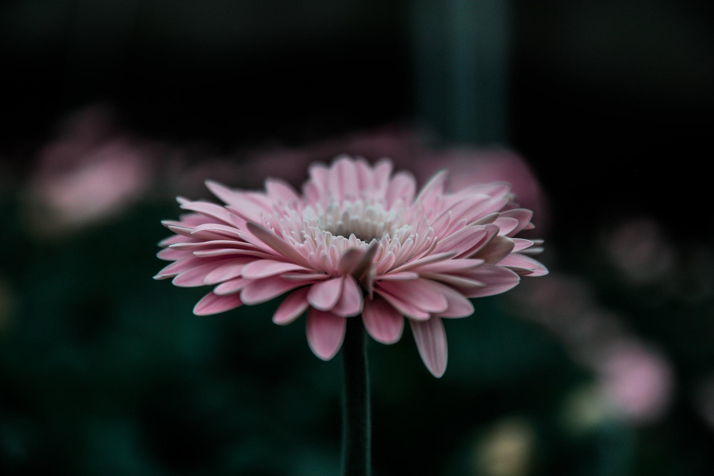 flower-pink-31459.jpg