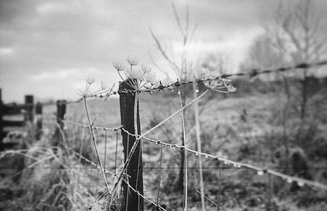 Barbed. Shot to #Film on a #yashica electro #rangefinder.