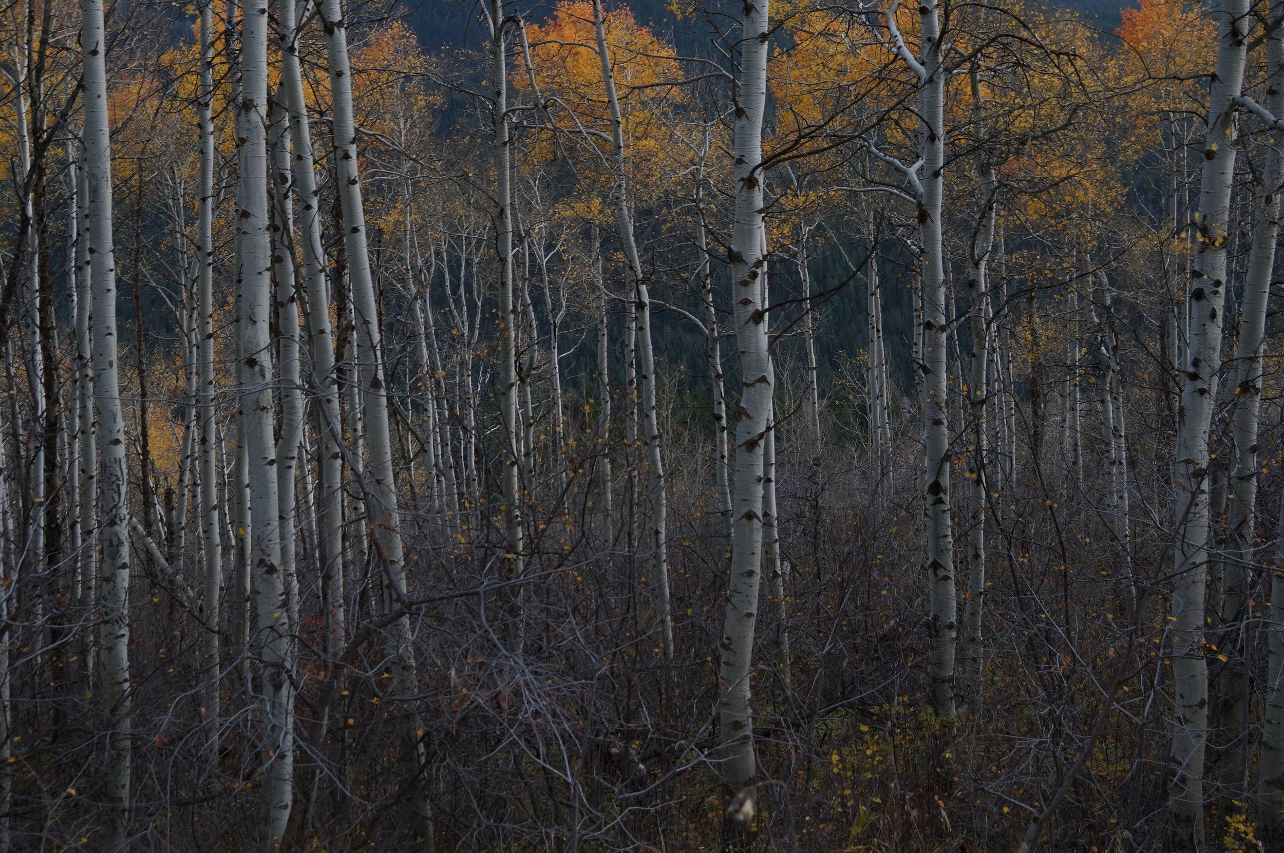 BA_Trees Birch.JPG