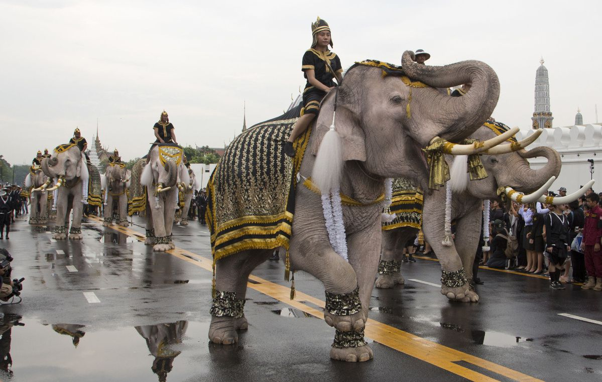 White Elephants lead a procession in honour of Thailand's King Bhumibol Adulyadeh.jpg