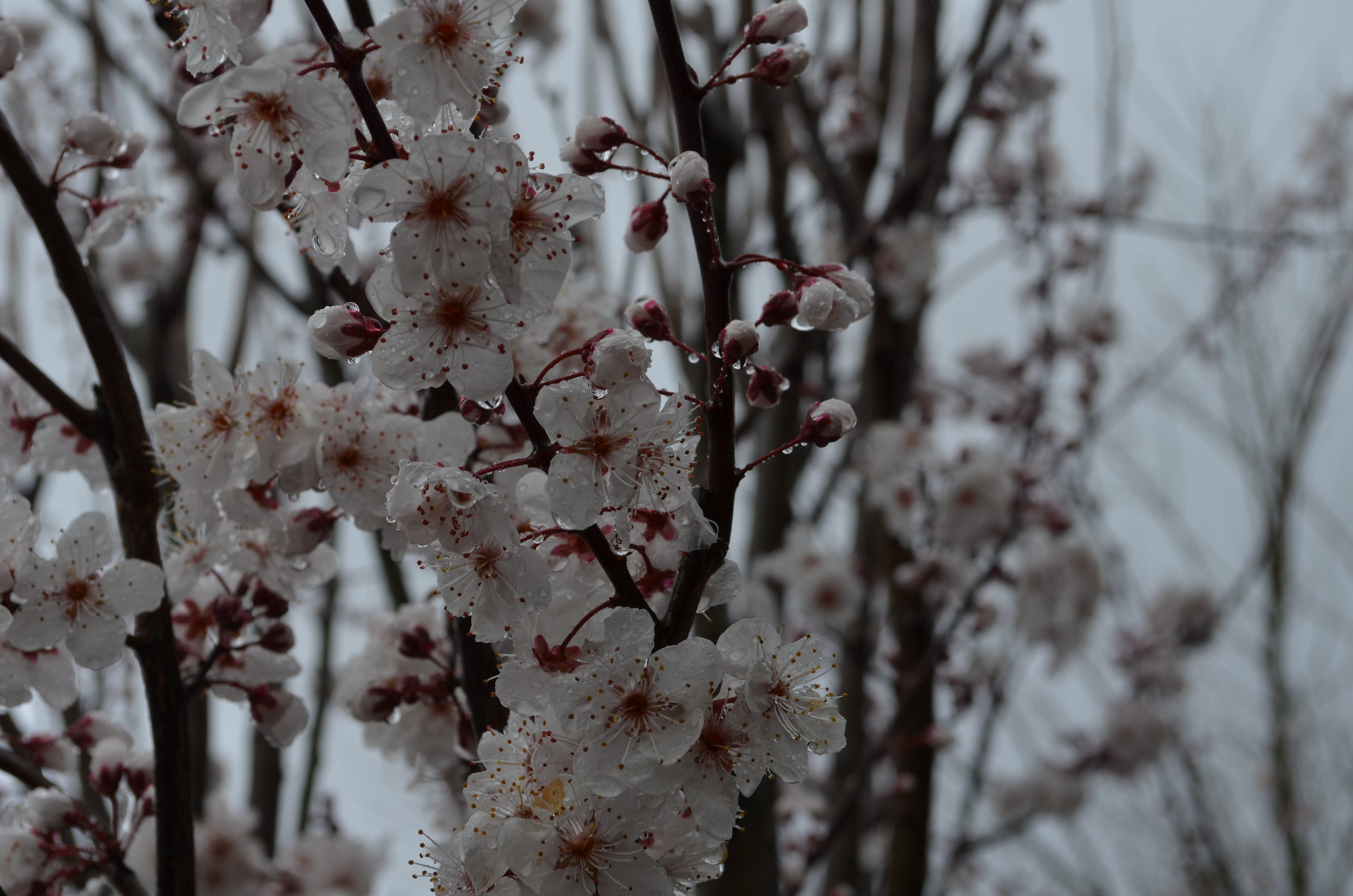 Carrie Deverson Interiors_Adelaide Hills_Prunus Blossom_Adelaide Interior Designer