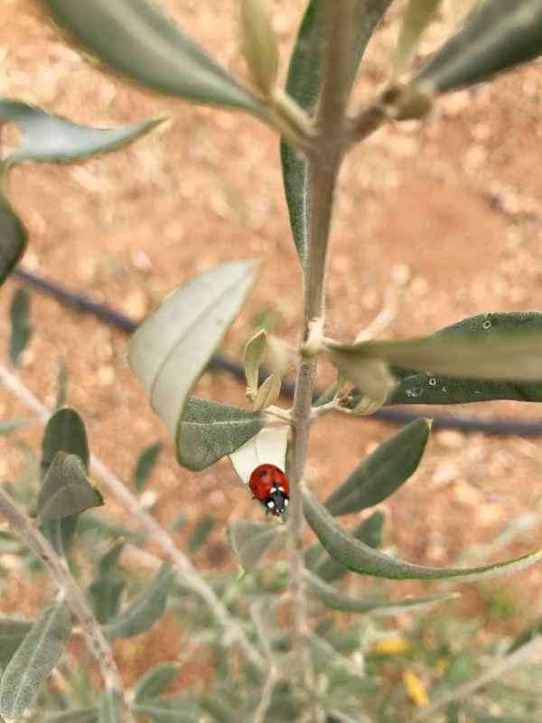 Garden_of_Cyprus_lady_bug.jpg
