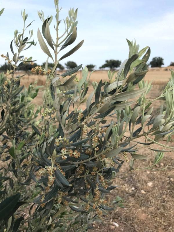 Garden_of_Cyprus_olive_tree.jpg