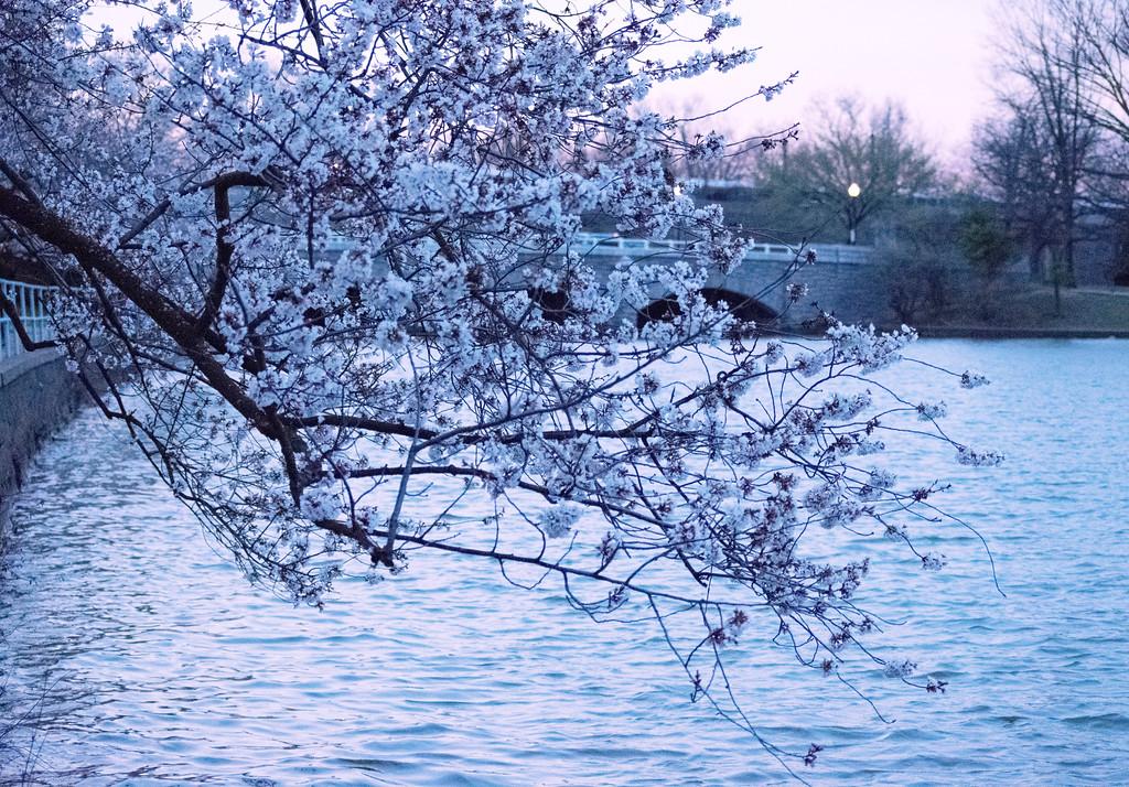 cherry_blossoms2-XL.jpg