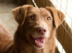 CHOCOLATE    f | 5 yrs | medium-large   I am a lovely Lab X and everyone says I have an incredibly friendly and calm personality. I've seen lots of dogs come and go from the shelter, and am patiently waiting for my turn to come.