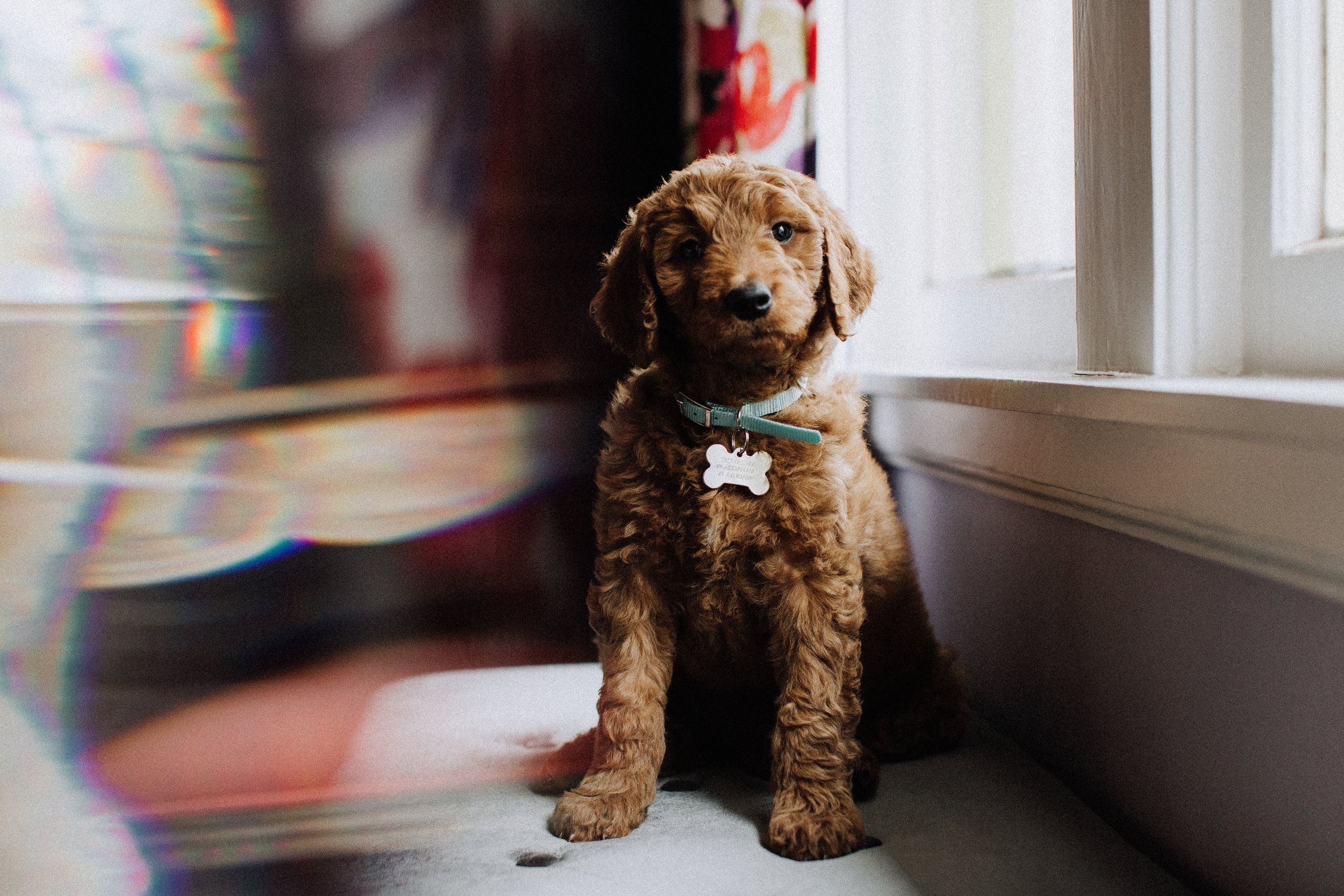 """m a p l e - Maple is the newest addition, joining the team in 2017. Like all second children, she doesn't get photographed as often, which is why her most current photo is… a puppy photo. Believe us when we say that she is a much larger goober, at this point in time. She has the most beautiful red curls and likes to turn in at least forty circles before laying down to sleep. She has an affinity for licking ears, dog and human alike. If you tell her to """"sit"""" over and over, she will eventually do it. She is Copper's best friend, ally, and partner in many… many… crimes."""