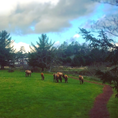 A gang of elk grazing along Ecola Creek near the old Cannon Beach Elementary School.