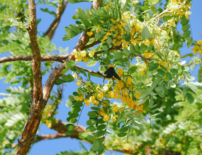 Abeja carpintera ( Xylocopa sp. ) pecoreando las flores del árbol de Guachipelín ( Diphysa americana ).