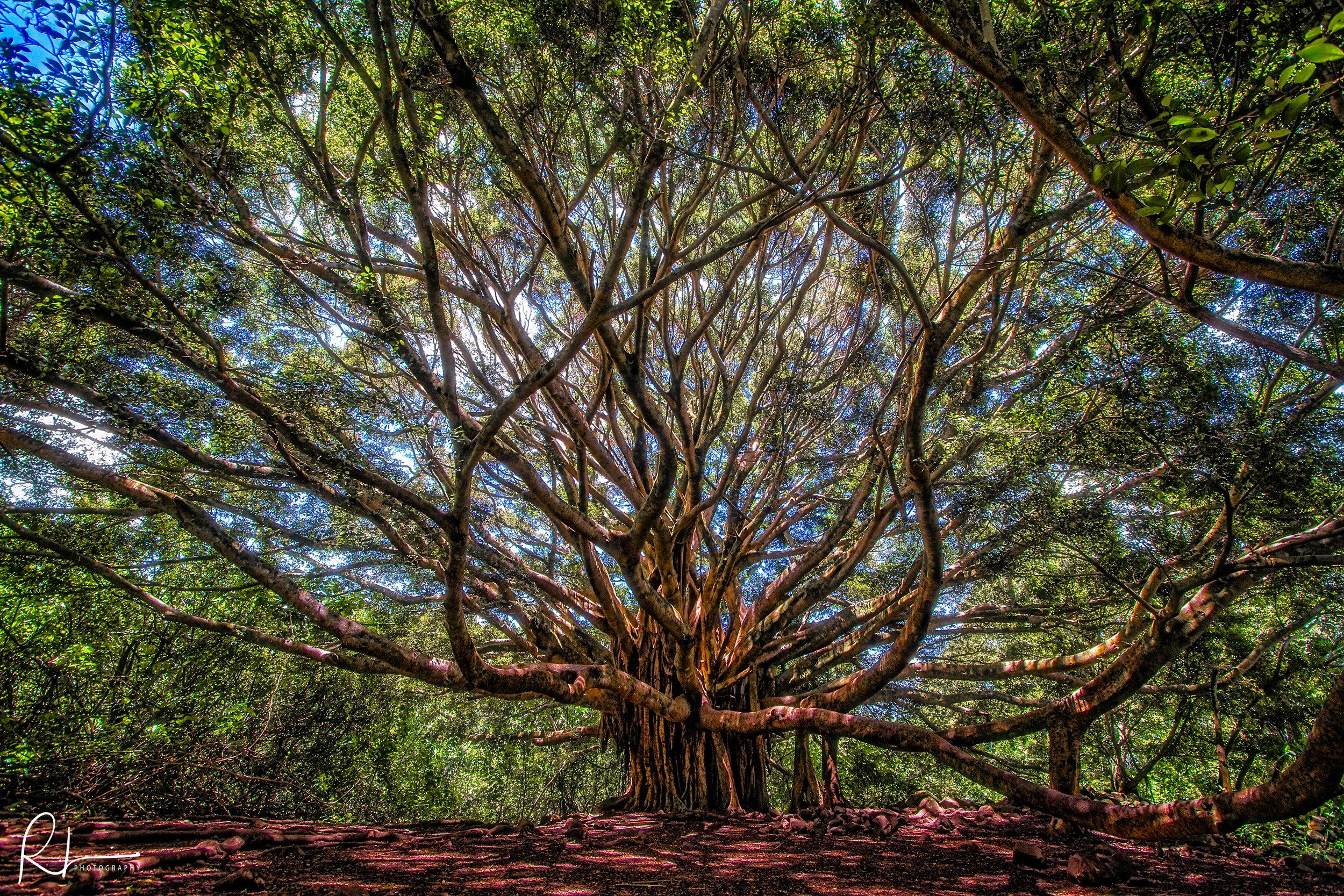 Banyan Tree in Maui