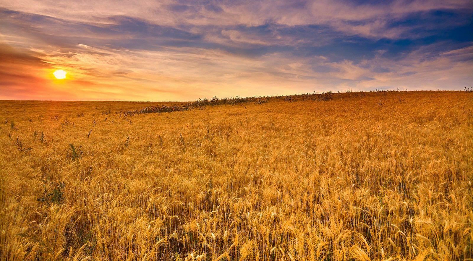 O cultivo do trigo é um dos mais nocivos ao ambiente - mas não precisa ser. Foto Patagonia