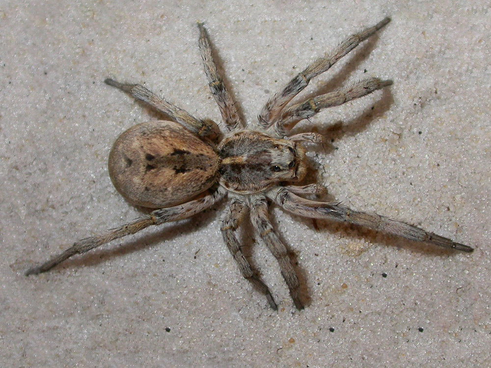 Guide Wolf Spider