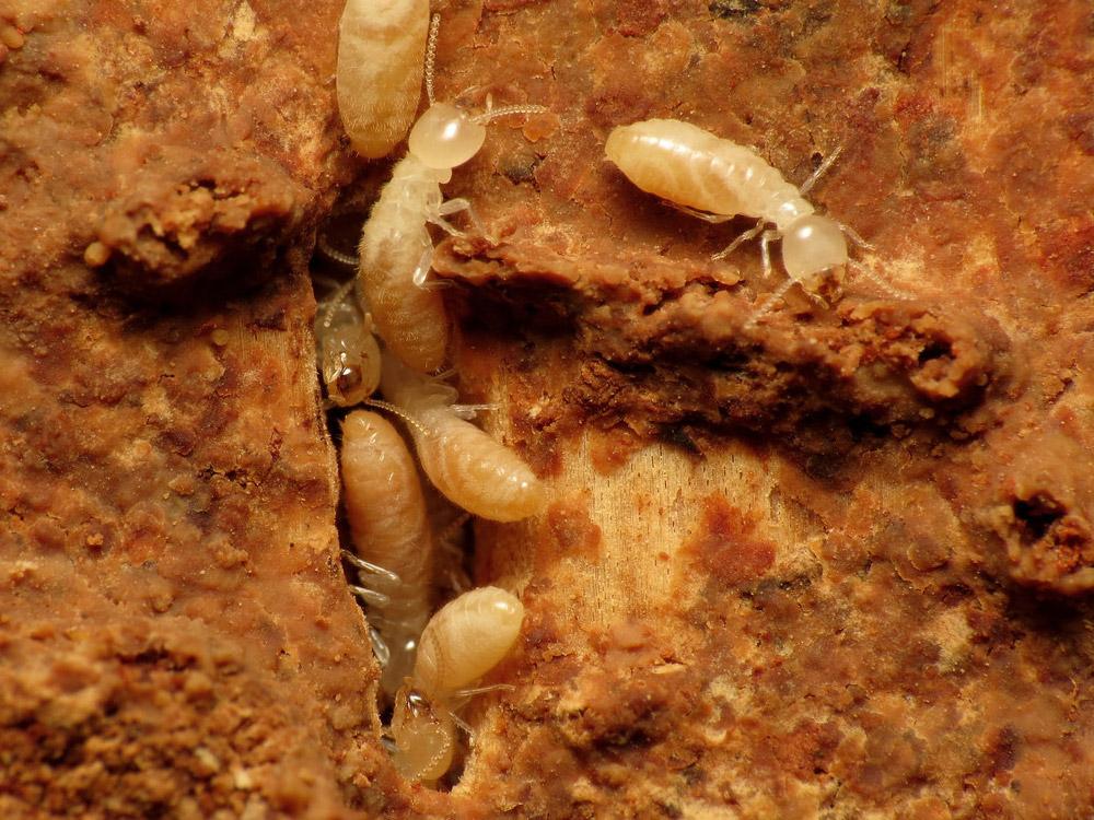 Eastern Subterranean Termites