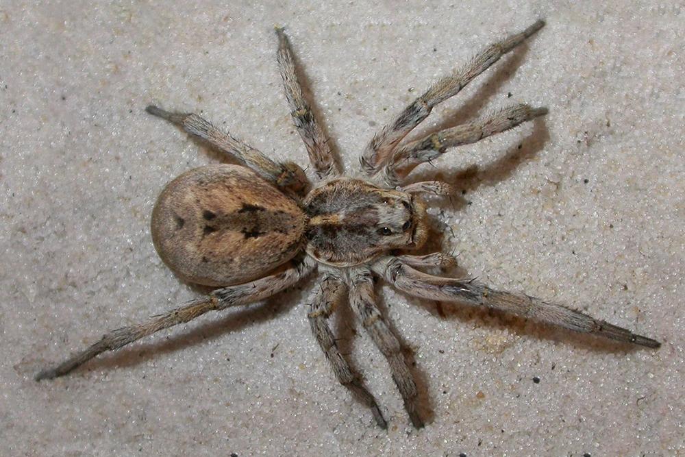 HPC-pest-guide-wolf-spider.jpg