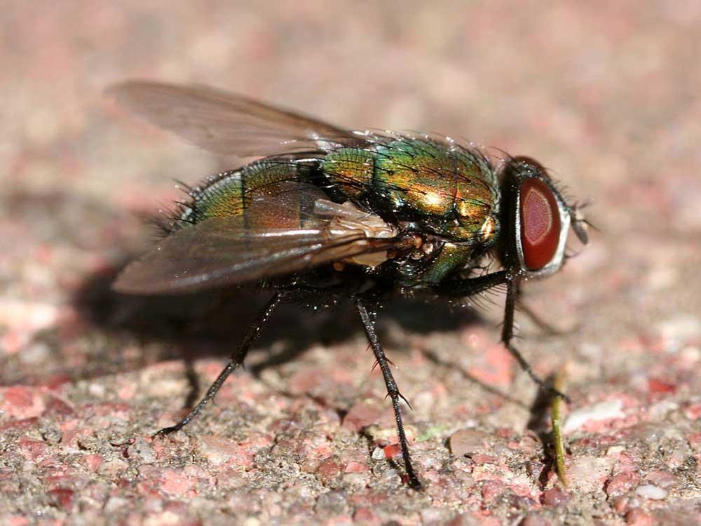 Bottle (blow) Flies