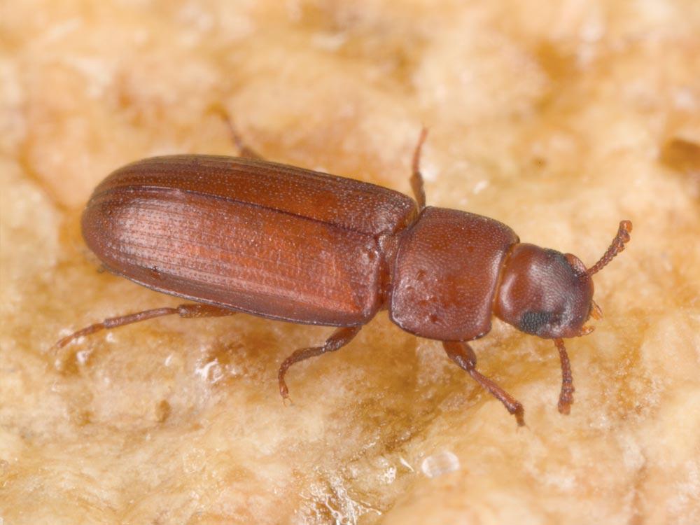 Confused flower beetle