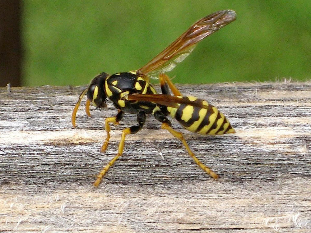 HPC-pest-guide-yellow-jacket.jpg