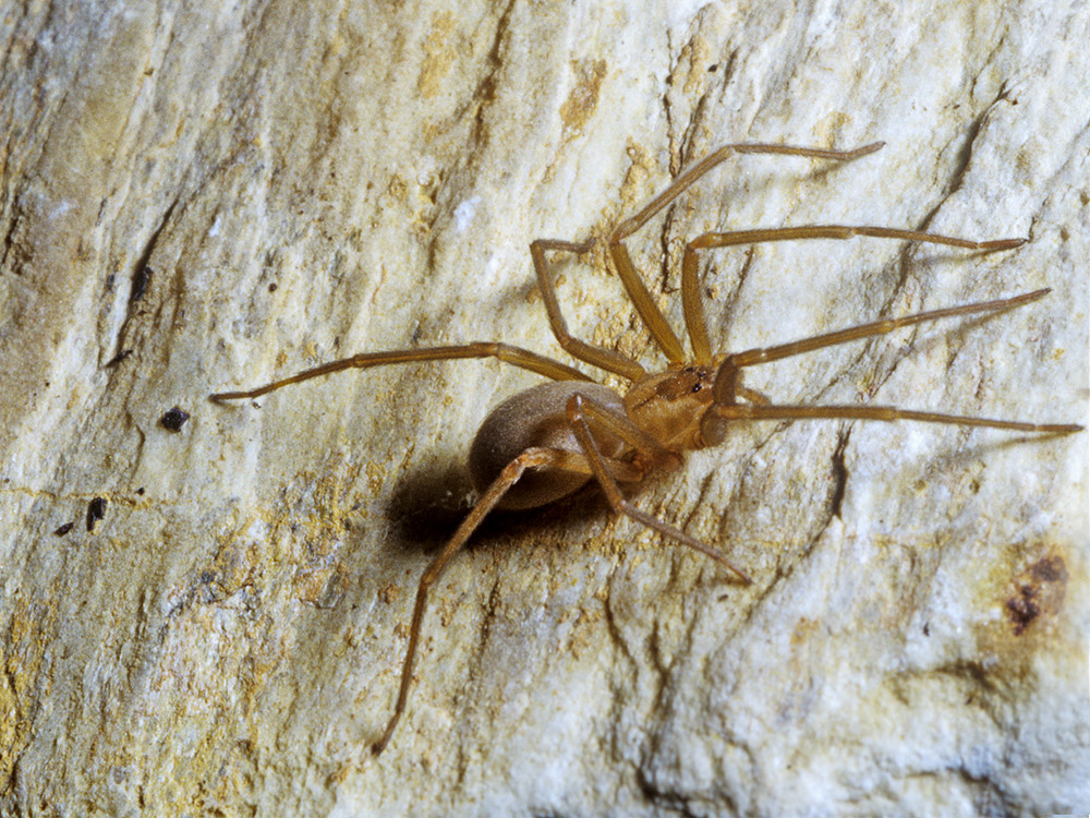 HPC-pest-guide-brown-recluse-spider.jpg