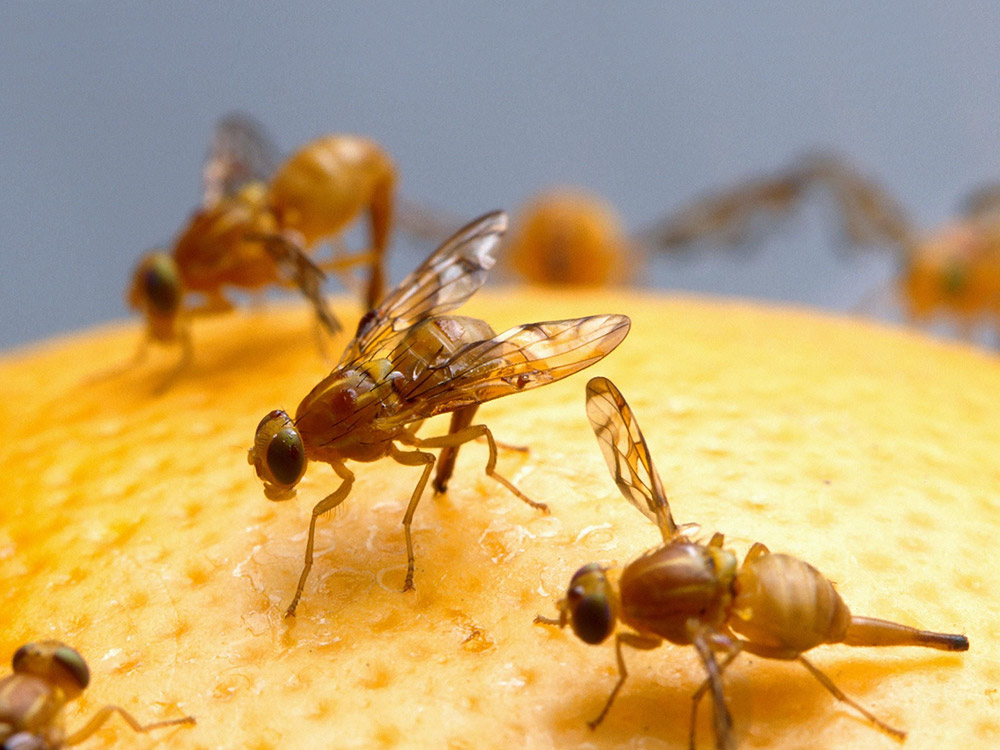 HPC-pest-guide-fruit-flies.jpg