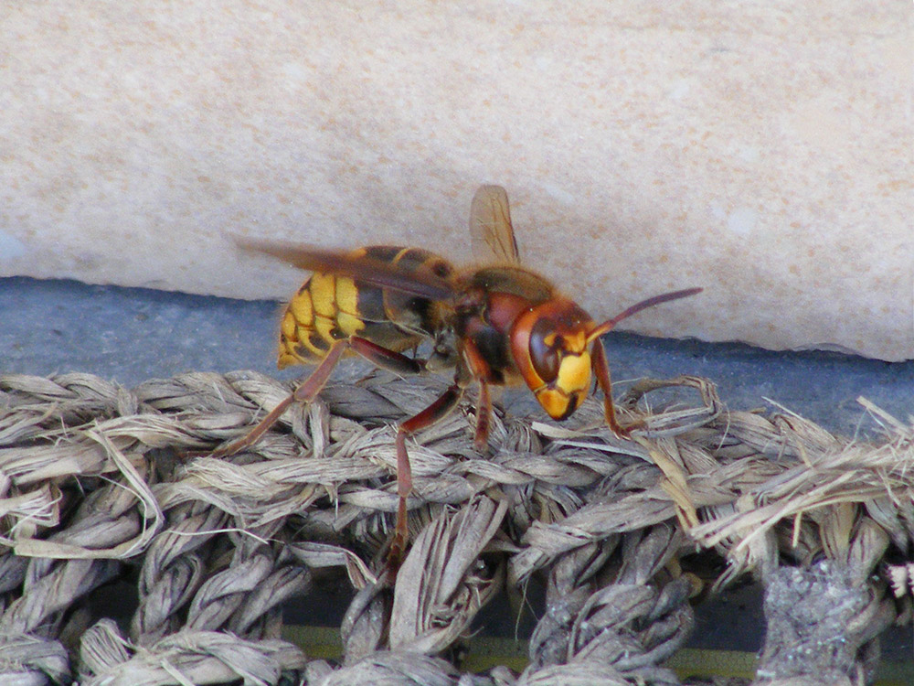 HPC-pest-guide-european-hornets.jpg