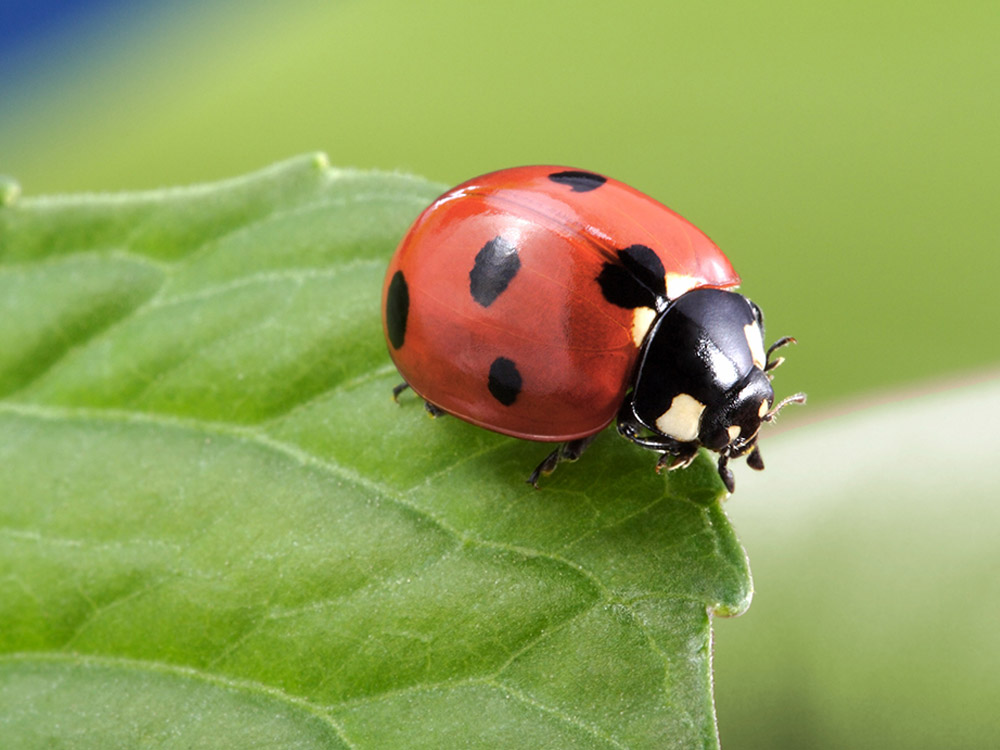 Asian Lady Bug Beetles