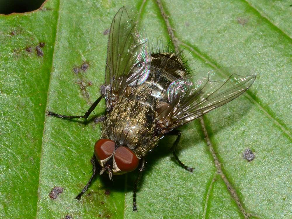HPC-pest-guide-cluster-flies.jpg