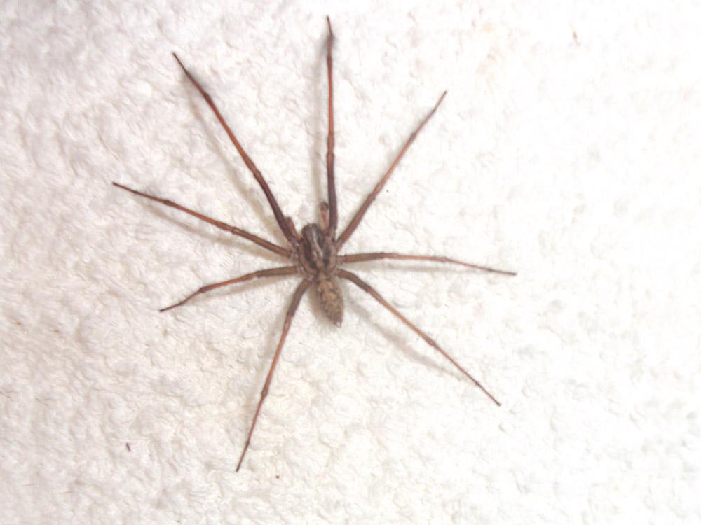 HPC-pest-guide-common-house-spider.jpg