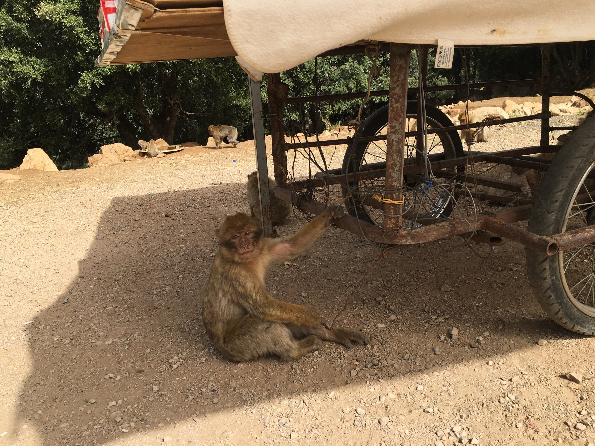 A barbary macaque hangs out by a souvenir cart.