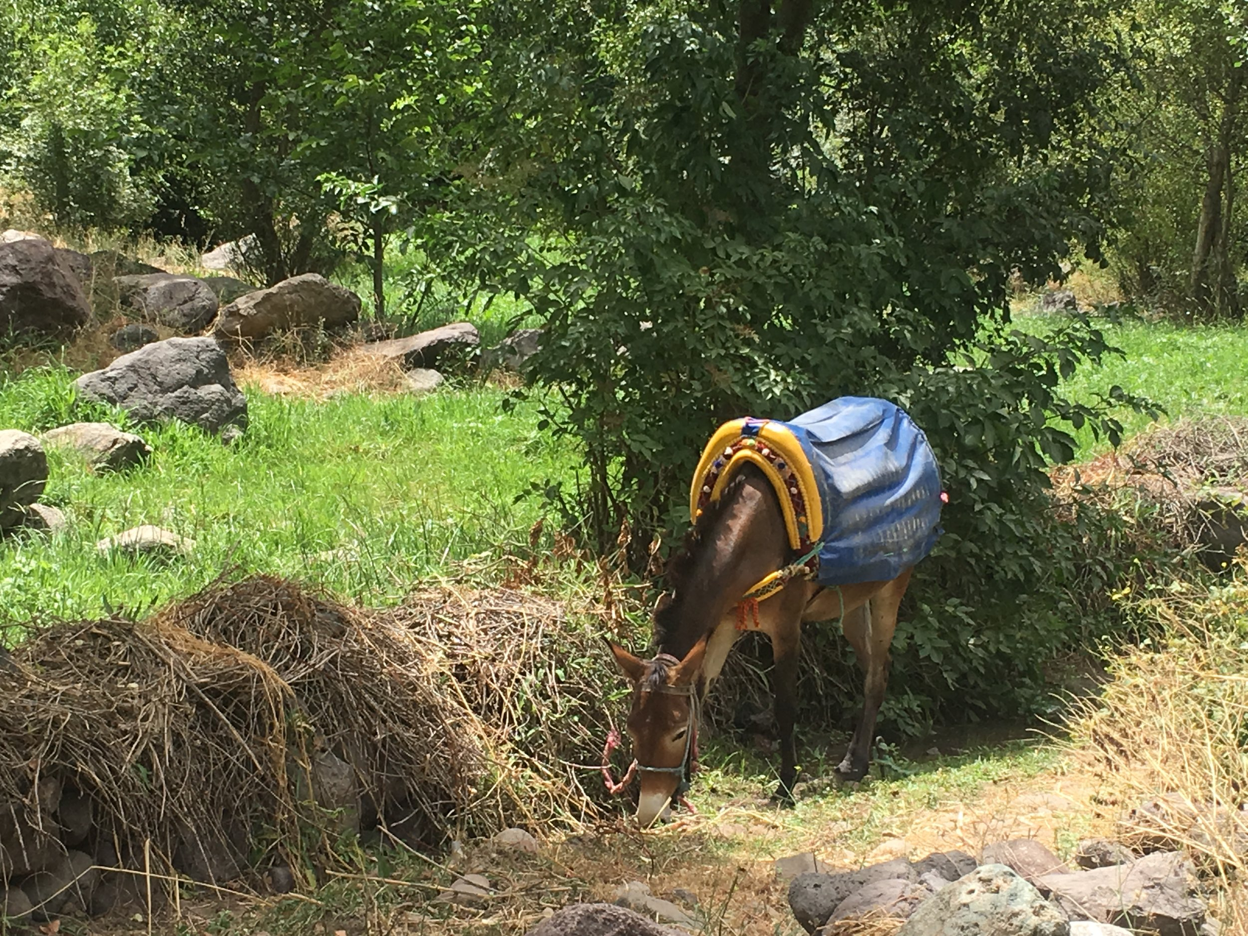 Abdil's mule grazes on the path while we eat lunch.