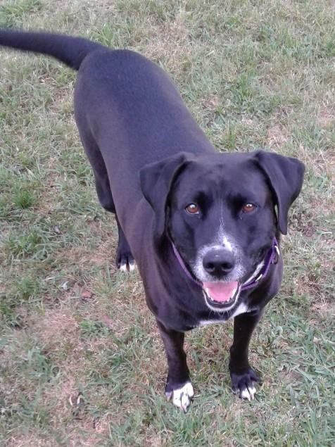 Adoptable Dogs — Lucky Lab Rescue