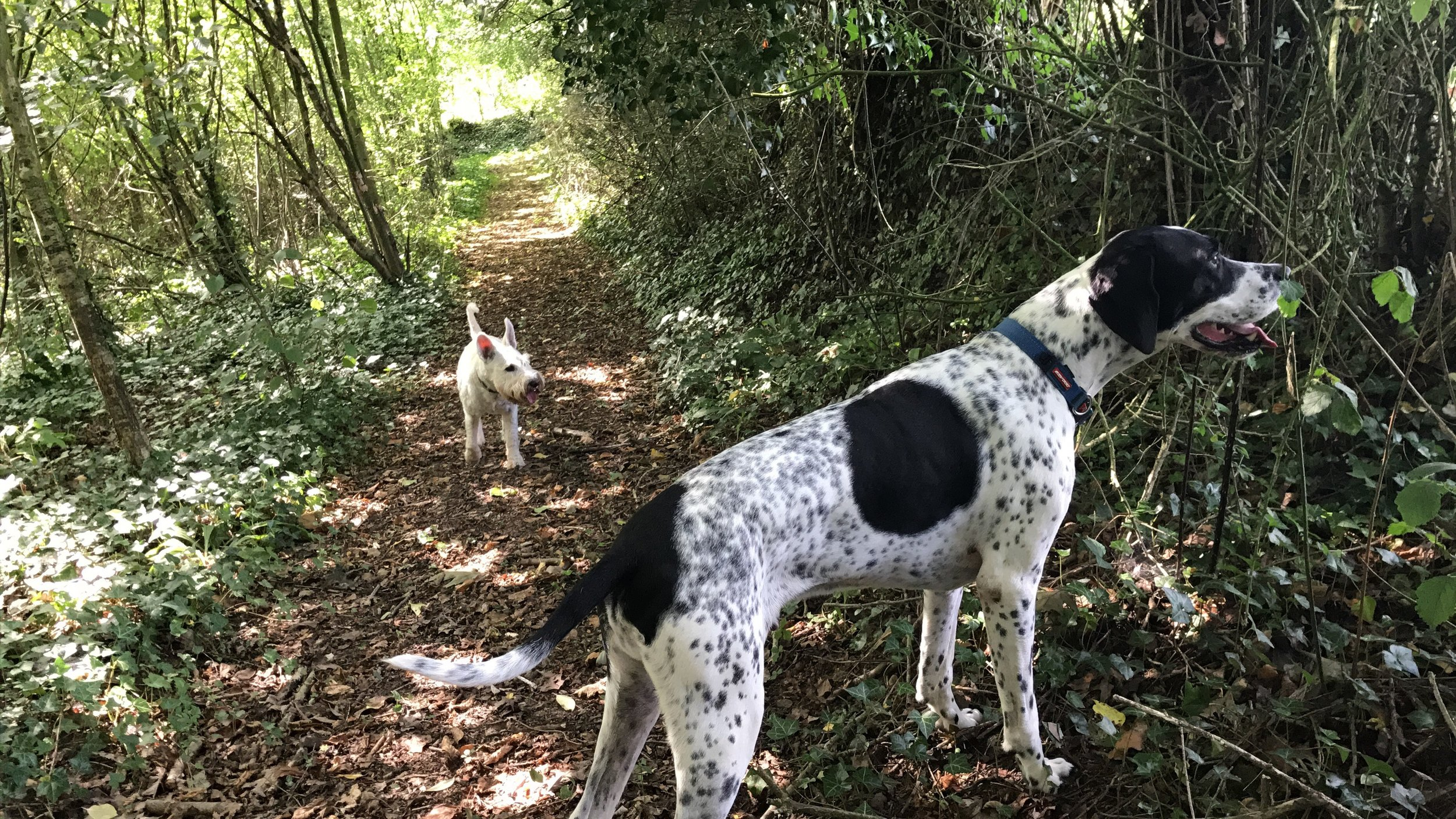 Wykeham and Byron sniffing out the woodland.