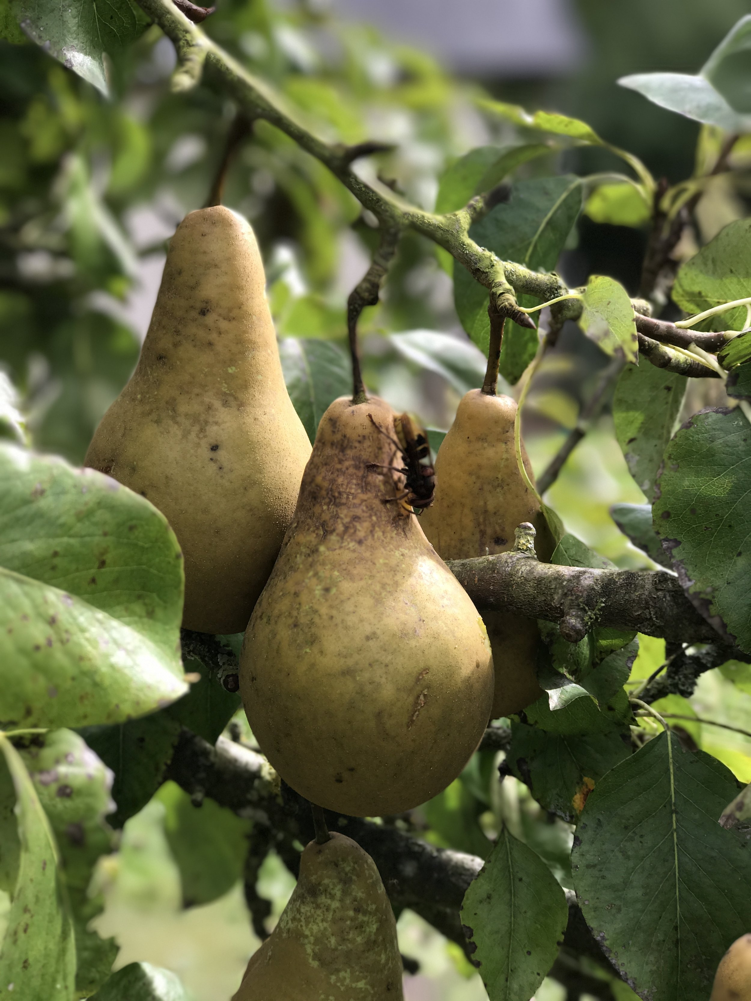 An abundant harvest of pears and apples this summer.