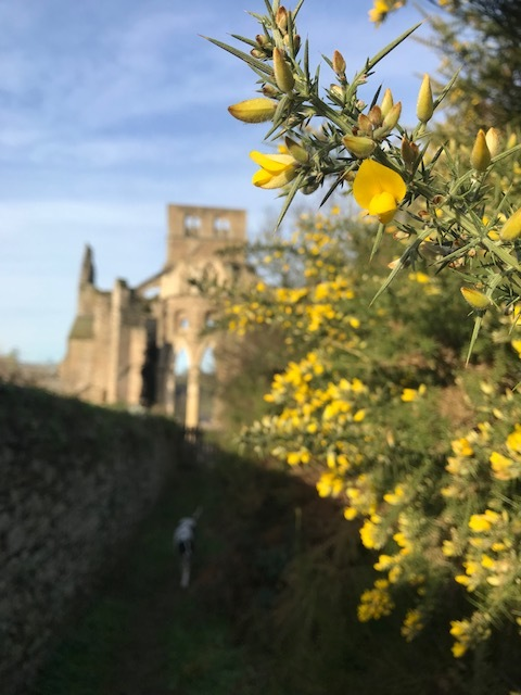 Gorgeous gorse at l'abbaye d'Hambye
