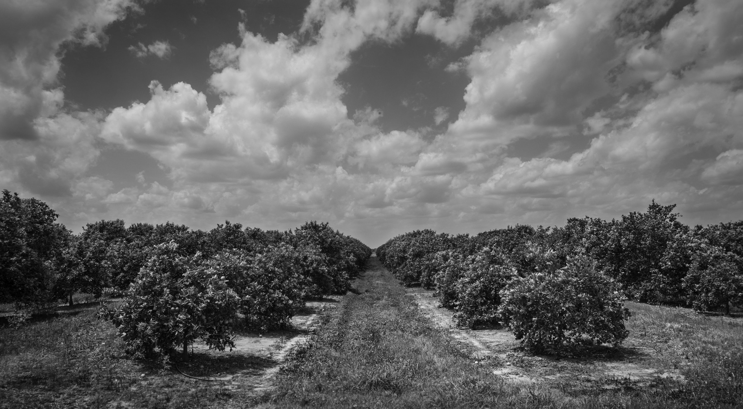 The fruit from this orange grove provides juice and jobs for people, but for thousands of years it was Florida dry prairie and perhaps home to Florida Grasshopper Sparrows.