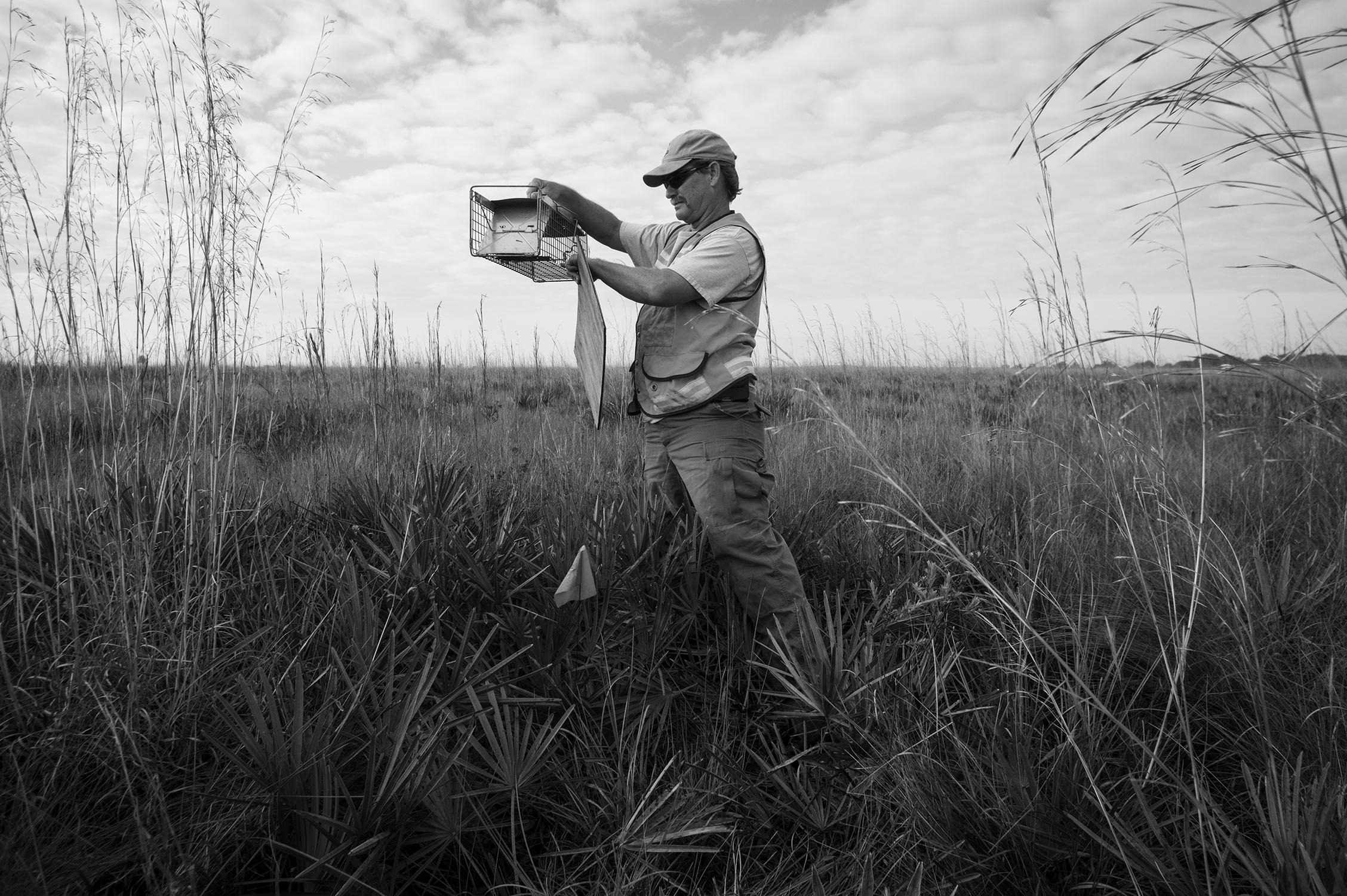 Biologist Steve Glass checks a mammal trap for Spotted Skunks.