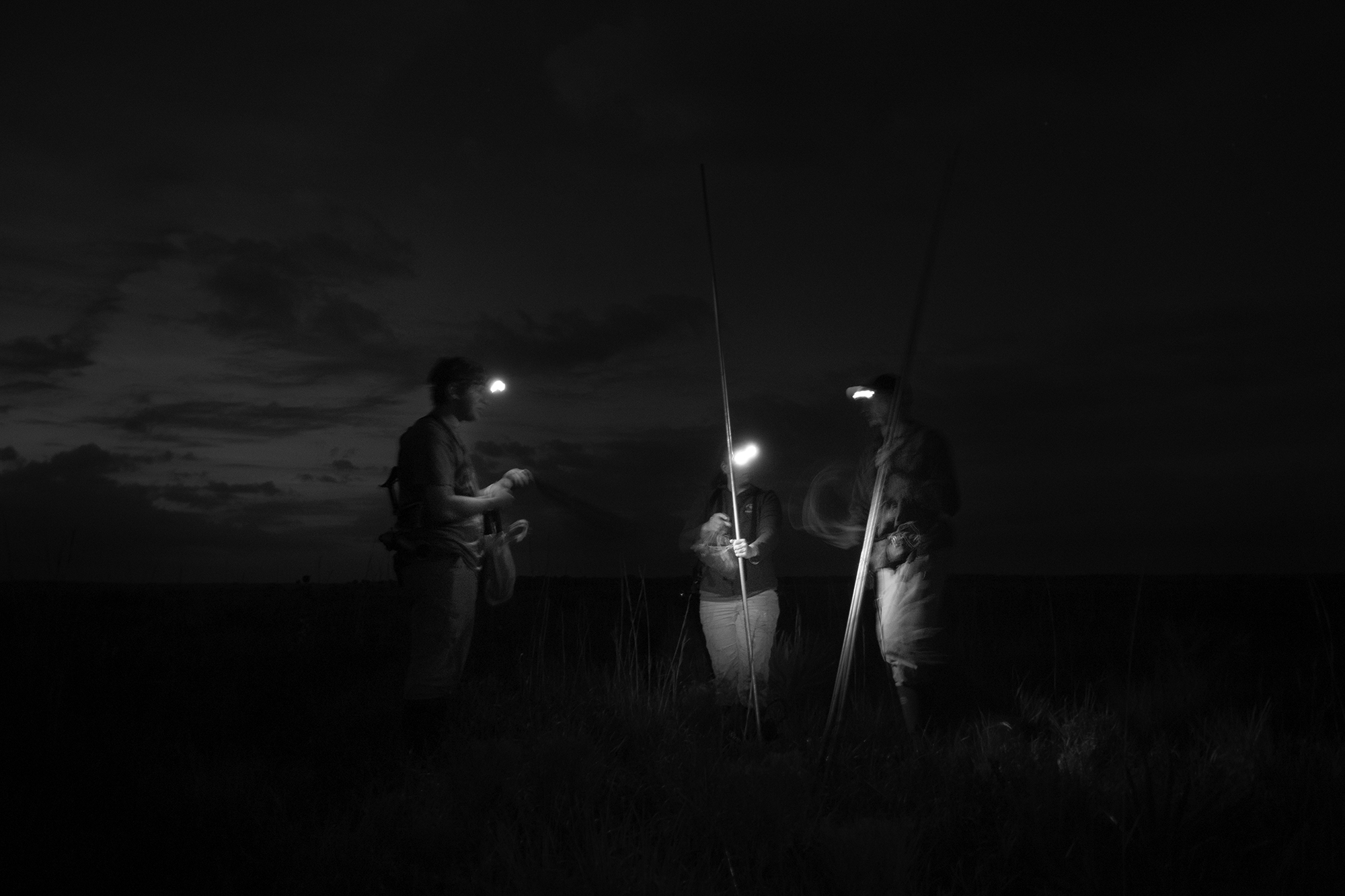 Florida Grasshopper Sparrows wake up early, so biologists set up their mist nets just before the sunrise.