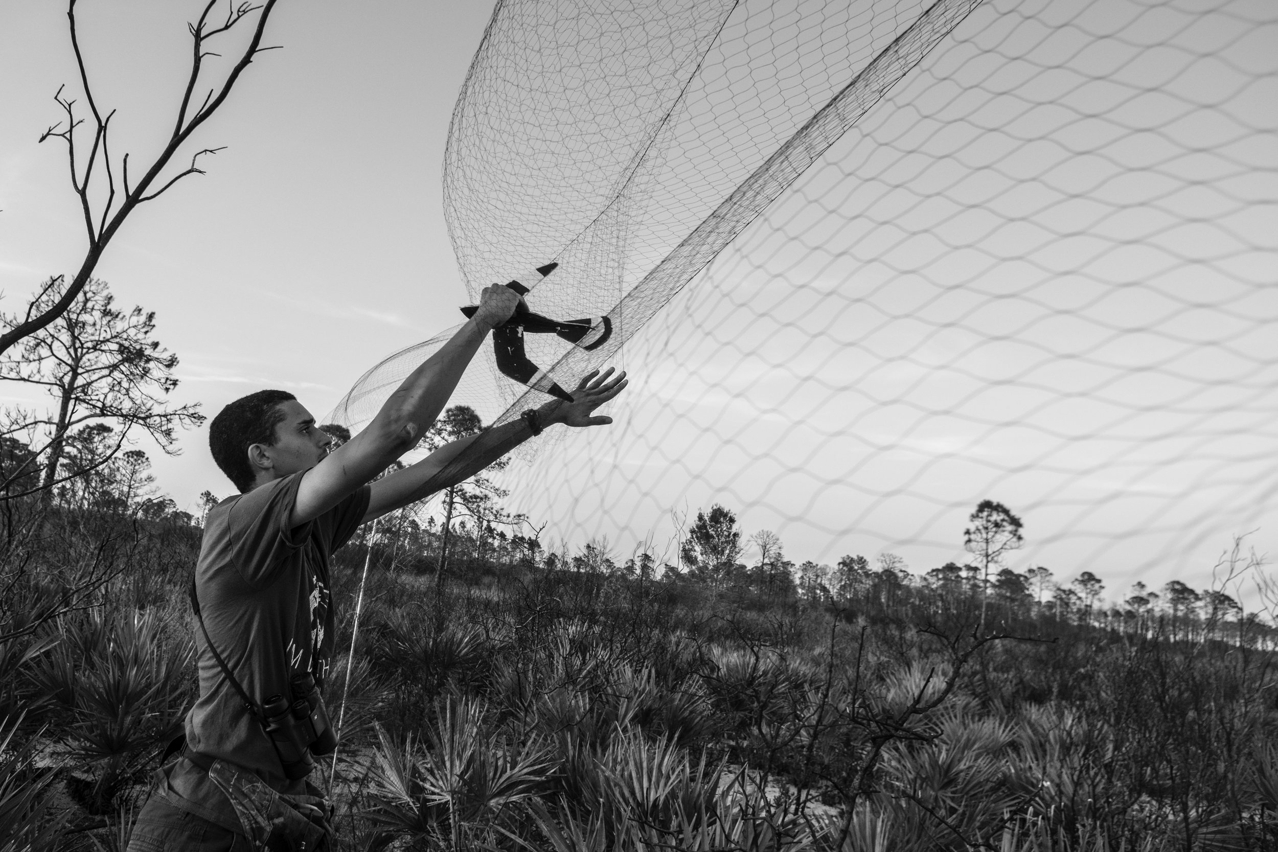 Researcher Greg Thompson puts a handmade decoy in the net to draw in one of the nearby Common Nighthawks. The team will also play audio recordings of Common Nighthawk sounds to attract the birds.