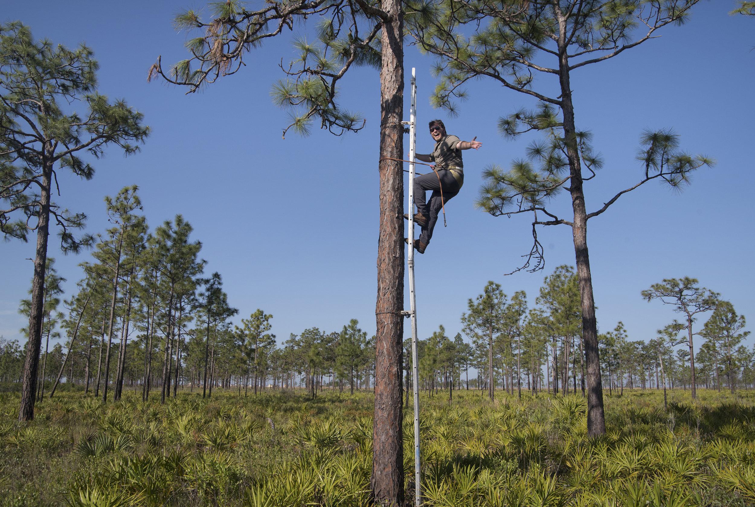 My first time using a swedish ladder to climb a longleaf pine tree.