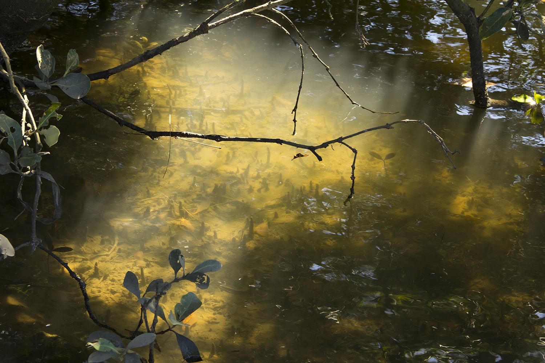 Mangroves Cooks River