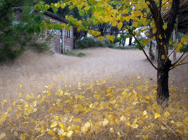Umbrella-grass,-Morongla-Creek-2010.jpg
