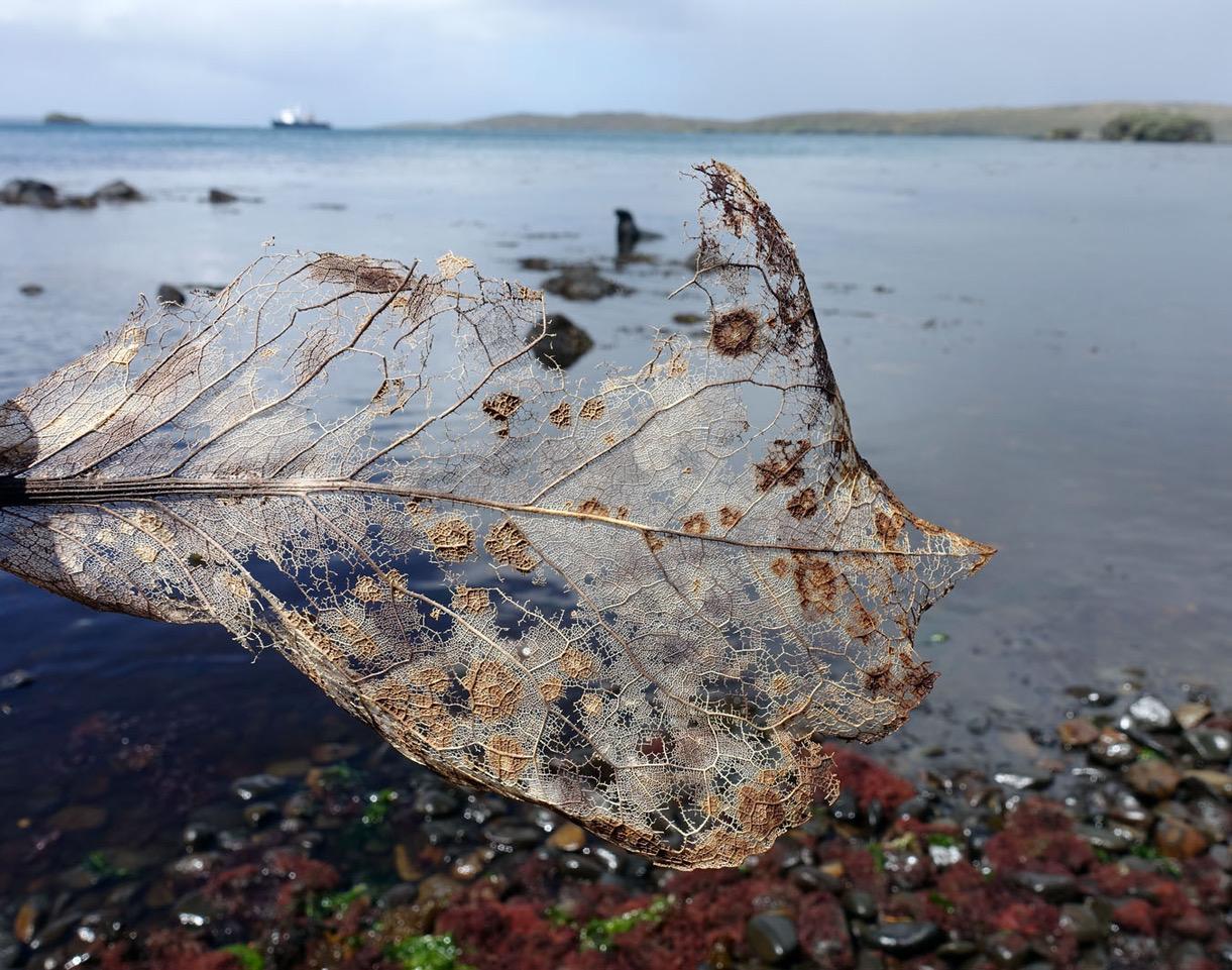 Sally McInerney - Seal, ship, leaf, Enderby Island 2017