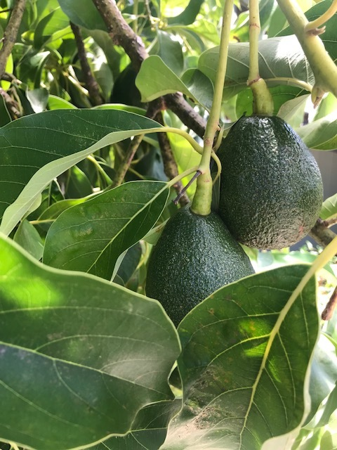Pick Avocados From Your Tree