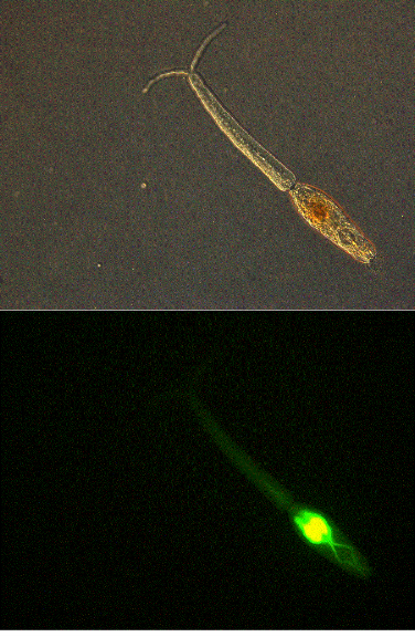 This image shows a viable  S. mansoni  cercaria stained with Fluorescein Diacetate (FDA). Different vital and non-vital stains will be tested to help determine the effect of water treatment processes on cercariae.
