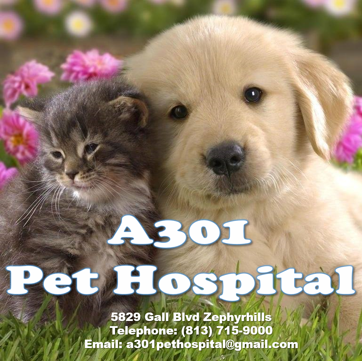 A 301 Pet Hospital    Address: 5829 Gall Blvd. Zephyrhills  Email:  a301pethospital@gmail.com   Telephone: 813-715-9000   Facebook