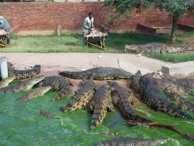 Feeding time at the crocodile farm. They eat a lot of chicken.