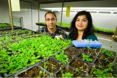 Pradeep, left and Aardra Kachroo study systemic resistance using the model plant Arabidopsis.PHOTO: Matt Barton, UK Agricultural Communications, Lexington, Ky.