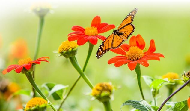 At Spindletop Farm, a monarch butterfly glides in for a meal from a favored plant,  Tithonia rotundifolia  (Mexican sunflower). Photo by Matt Barton