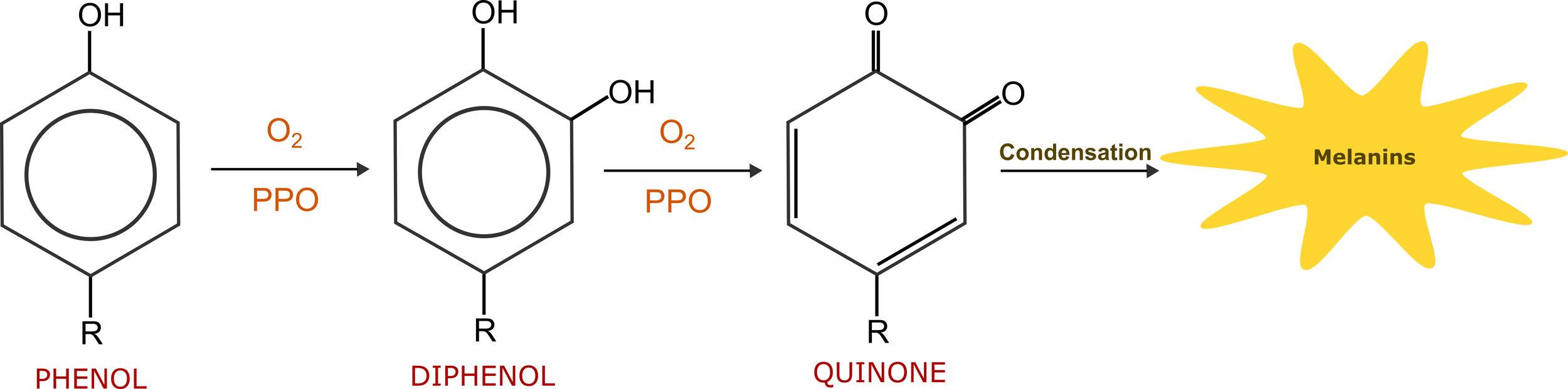 polyphenol oxidase