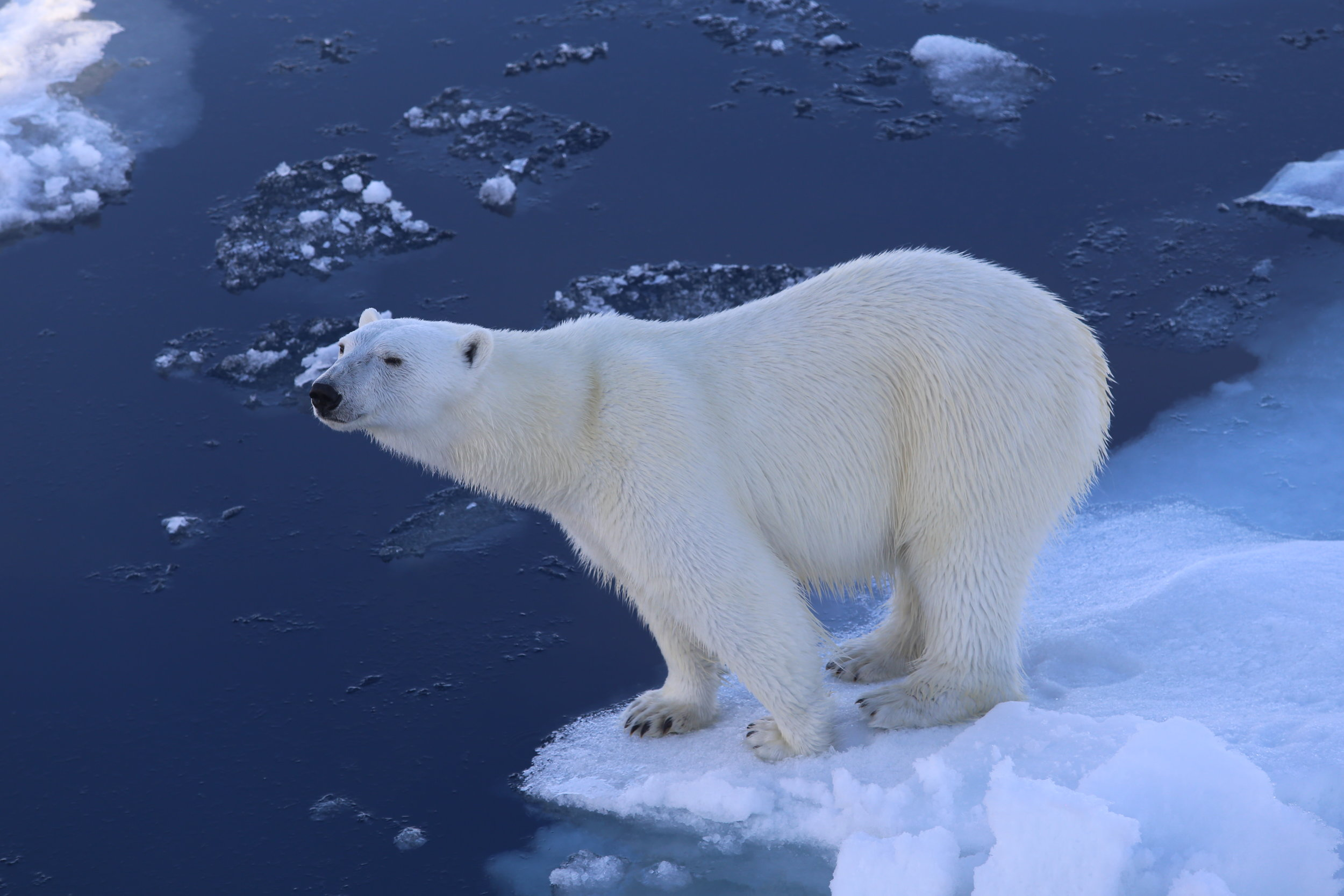 Lack of sea ice makes it difficult for bears to hunt seals. Photo: Magnus Andersen / Norwegian Polar Institute